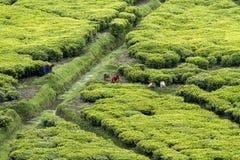 Trabajadores en una plantación de té Foto de archivo libre de regalías