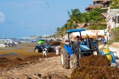 Trabajadores locales que limpian la playa de la alga marina en el Playa del Carmen foto de archivo