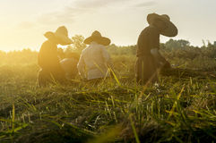 Trabajadores que cortan el arroz en los campos fotos de archivo