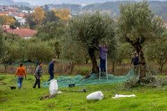 Trabajadores que cosechan aceitunas frescas imagen de archivo
