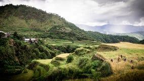 Trabajadores que cosechan el arroz en las terrazas de la montaña de Maligcong Fotos de archivo libres de regalías