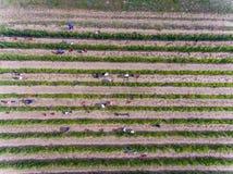 Trabajadores que cosechan en el viñedo, visión aérea desde arriba Fotografía de archivo libre de regalías