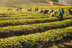 Trabajadores que cosechan las hojas de té verdes en una plantación de té Imágenes de archivo libres de regalías