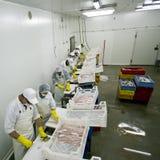 Trabajadores que procesan pescados Imagen de archivo libre de regalías