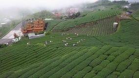 Trabajadores que recogen las hojas de té de Oolong en la plantación en el área de Alishan, Taiwán Visión aérea en tiempo de niebl almacen de video