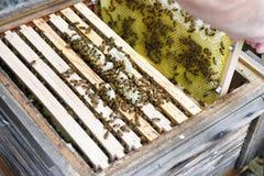 Trabajando en la miel, encargado de la abeja del peine mirada en el marco de la colmena Foto de archivo libre de regalías
