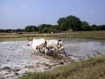 Trabaje en los campos - la India Imagen de archivo