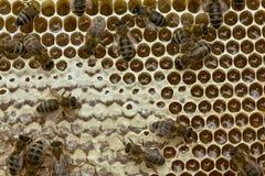 Trabajo activo del equipo de abejas en la colmena Fotografía de archivo libre de regalías