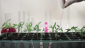 Trabajo con las plantas en el laboratorio Almácigos de la fertilización del líquido nutritivo del tomate en el laboratorio almacen de metraje de vídeo