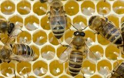 Trabajo de abejas dentro de la colmena Convierten el néctar en la miel Imagenes de archivo