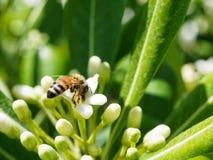 Trabajo de la abeja que recoge el néctar Imagen de archivo