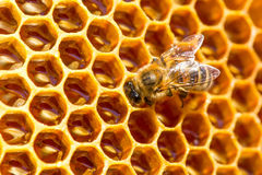 Trabajo de la abeja sobre el panal con la miel dulce Imagen de archivo libre de regalías