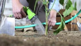 Trabajo de la mujer en agua del huerto la planta de pimienta dulce con la manguera de jardín de modo que pueda crecer, cerca de l metrajes