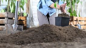 Trabajo de la mujer en planta de pimienta dulce del lugar del huerto del pote en la tierra de modo que pueda crecer, cerca de las metrajes