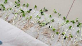 Trabajo de laboratorio biológico con las plantas para la agricultura almacen de video