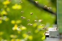 Trabajo de las abejas Imagen de archivo libre de regalías