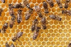 Trabajo de las abejas en colmena Imagen de archivo