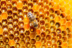Trabajo de las abejas sobre el panal Fotografía de archivo libre de regalías