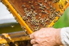 Trabajo de las abejas sobre el panal Foto de archivo libre de regalías