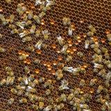 Trabajo de las abejas sobre el panal Foto de archivo