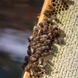 Trabajo de las abejas sobre el panal Fotografía de archivo
