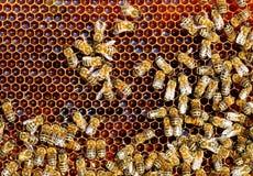 Trabajo de las abejas sobre el panal Modelo de las células de la miel Apicultura Foto de archivo