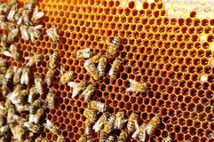 Trabajo de las abejas sobre el panal Modelo de las células de la miel Apicultura Fotos de archivo libres de regalías