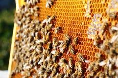 Trabajo de las abejas sobre el panal Modelo de las células de la miel Apicultura Imagenes de archivo