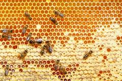 Trabajo de las abejas sobre las células de la miel Imágenes de archivo libres de regalías