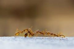 Trabajo de las hormigas del poder Fotografía de archivo