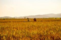 Trabajo de los granjeros en las tierras de labrantío de oro del arroz Imágenes de archivo libres de regalías