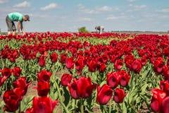 Trabajo de los granjeros sobre campo del tulipán Imagenes de archivo