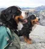 Trabajo de los perros de montaña de Bernese fotografía de archivo libre de regalías