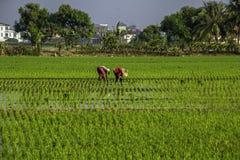 Trabajo del granjero en el campo de arroz Fotografía de archivo libre de regalías
