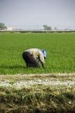 Trabajo del granjero en el campo de arroz Imagen de archivo libre de regalías