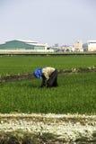 Trabajo del granjero en el campo de arroz Fotografía de archivo