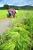 Trabajo del granjero en una plantación del arroz Foto de archivo