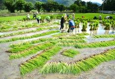 Trabajo del granjero en una plantación del arroz Fotografía de archivo