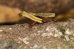 Trabajo duro de las hormigas del cortador de la hoja. fotos de archivo