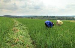 Trabajo en campo del arroz Imagenes de archivo
