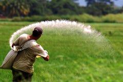 Trabajo en el campo del arroz fotos de archivo