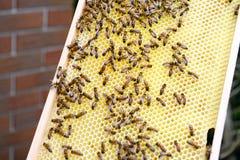 Trabajo en encargado de la abeja del peine de la miel Fotos de archivo