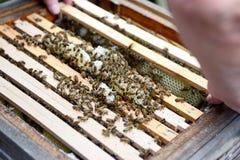 Trabajo en encargado de la abeja del peine de la miel Imagen de archivo