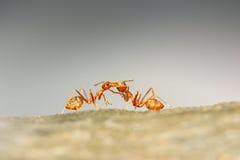 Trabajo en equipo de las hormigas Imagen de archivo