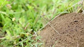 Trabajo en equipo de las hormigas que trabajan junto en su hormiguero metrajes