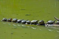 Trabajo en equipo de las tortugas Imagen de archivo libre de regalías