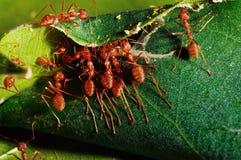 Trabajo en equipo rojo de la hormiga en naturaleza verde Imágenes de archivo libres de regalías