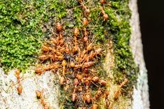 Trabajo en equipo rojo de las hormigas Imagen de archivo libre de regalías