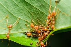 Trabajo en equipo rojo de las hormigas Fotos de archivo