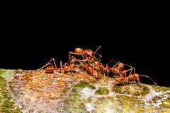 Trabajo en equipo rojo de las hormigas Imágenes de archivo libres de regalías